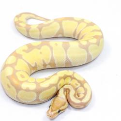 Royal Python Care Sheet