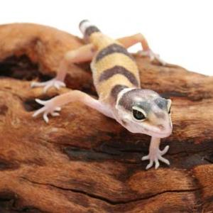 Leopard Gecko Care Sheet