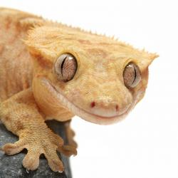 Crested Gecko Care Sheet