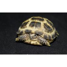 Horsefield Tortoise