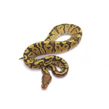 Orange Ghost Poss het Pied Male CB17